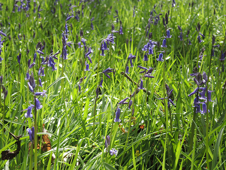 oxford_garden_design_bluebell1-small